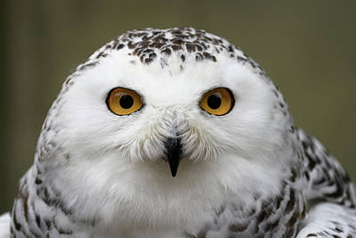 Photograph - Snowy Eyes by Michael Hubley