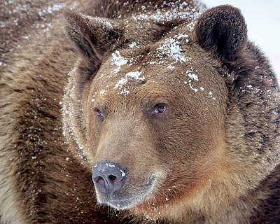 Photograph - Snowy Face Grizzly by Jack Bell