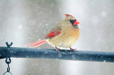 Digital Art - Snowy Female Cardinal by Donna Doherty