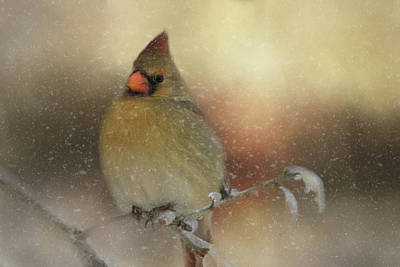 Snowy Female Cardinal Art Print by Lana Trussell