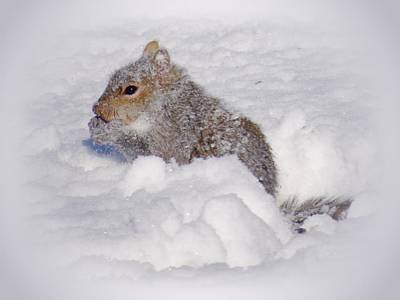 Photograph - Snowy Gray Squirrel by MTBobbins Photography