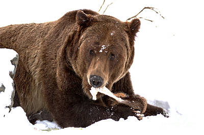 Photograph - Snowy Grizzly Lunch by Adam Jewell