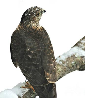 Photograph - Snowy Hawk by Debbie Stahre