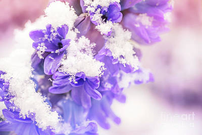 Hyacinths Wall Art - Photograph - Snowy Hyacinth by Delphimages Photo Creations