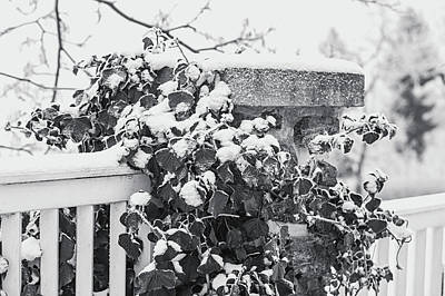 Photograph - Snowy Ivy On Fence. Black And White by Jenny Rainbow
