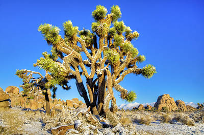Photograph - Snowy Joshua Tree by Connie Cooper-Edwards