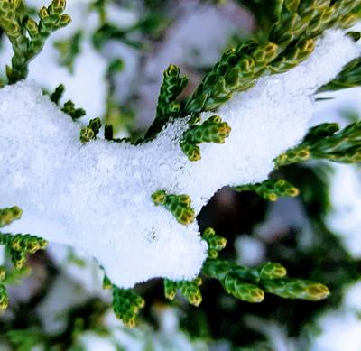 Photograph - Snowy Juniper by Rachel Hannah