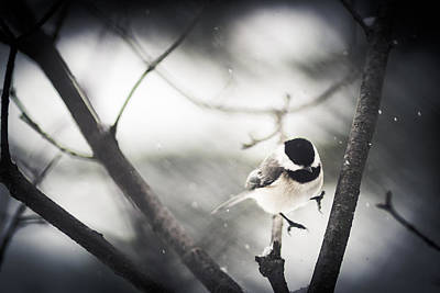 Chickadee Wall Art - Photograph - Snowy Landing by Shane Holsclaw