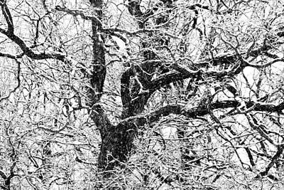 Photograph - Snowy Oak by David Ralph Johnson