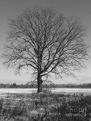 Roaring Red - Snowy Oak by Erick Schmidt