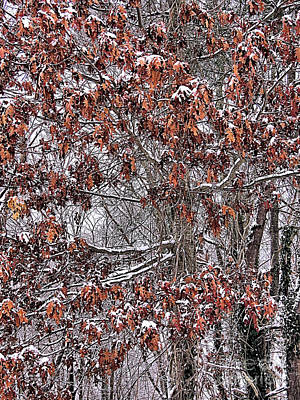 Photograph - Snowy Oaks by Janice Drew