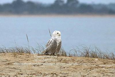 Photograph - Snowy On Dune by Captain Debbie Ritter