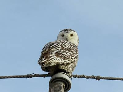 Photograph - Snowy Owl                        by Dennis McCarthy