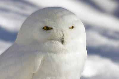 Photograph - Snowy Owl - Harfang Des Neiges by Michel Legare