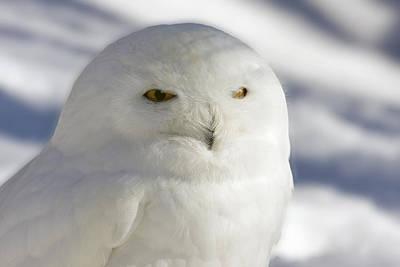 Snowy Owl - Harfang Des Neiges Art Print