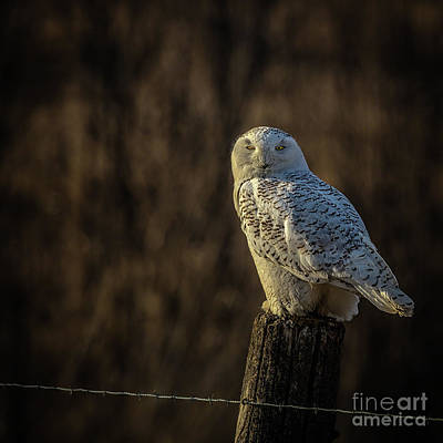 Photograph - Snowy Owl 1 by Roger Monahan