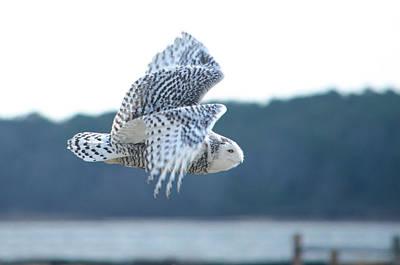 Photograph - Snowy Owl 1 by Steve Myrick