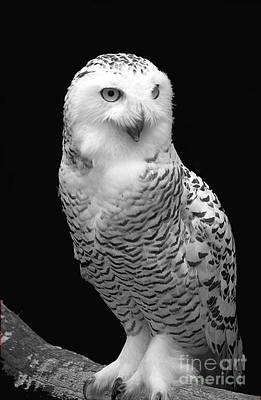 Photograph - Snowy Owl 2 by Mark Gilman