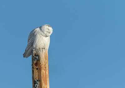 Photograph - Snowy Owl 2018-12 by Thomas Young