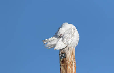 Photograph - Snowy Owl 2018-20 by Thomas Young