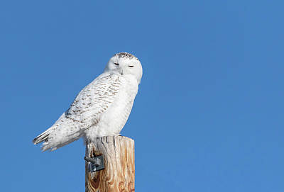 Photograph - Snowy Owl 2018-22 by Thomas Young