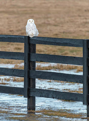 Photograph - Snowy Owl 2018-3 by Thomas Young