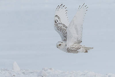 Art Print featuring the photograph Snowy Owl #3/3 by Patti Deters