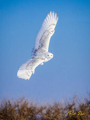 Photograph - Snowy Owl Banking by Rikk Flohr