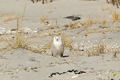Photograph - Snowy Owl Breezy Point by Maureen E Ritter