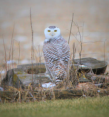 Photograph - Snowy Owl Eyes by Dan Sproul
