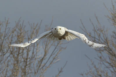 Photograph - Snowy Owl Focused On Flight by Tony Hake