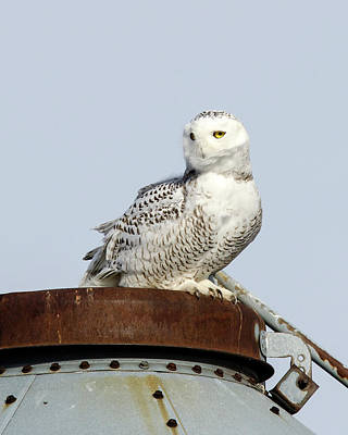 Photograph - Snowy Owl II by Ann Bridges