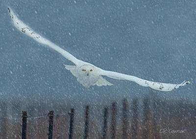 Photograph - Snowy Owl In A Snowstorm by CR  Courson