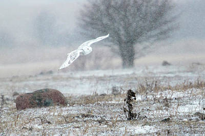 Photograph - Snowy Owl In Flight 2 by Gary Hall