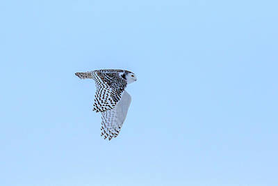 Photograph - Snowy Owl In Flight 5 by Gary Hall