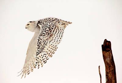 Water Droplets Sharon Johnstone - Snowy Owl In Flight by Debbie Oppermann