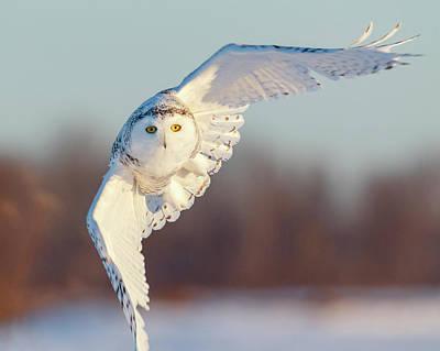 Thomas Kinkade - Snowy Owl in Flight by Guoqiang Xue