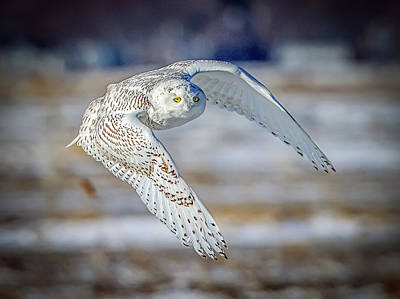 Photograph - Snowy Owl In Flight- Salisbury Dunes by John Vose