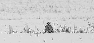 Owls Photograph - Snowy Owl In Snowy Field by Carrie Ann Grippo-Pike