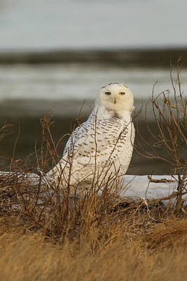 Photograph - Snowy Owl In The Salt Grass by Allan Morrison