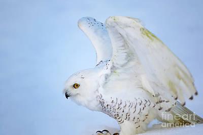 Owl Photograph - Snowy Owl In The Snow by CJ Park