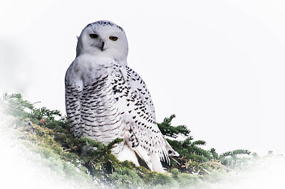 Photograph - Snowy Owl In Tree by Ronald Grogan