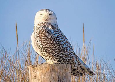 Photograph - Snowy Owl  by Janice Drew