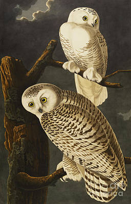Snowy Night Drawing - Snowy Owl by John James Audubon