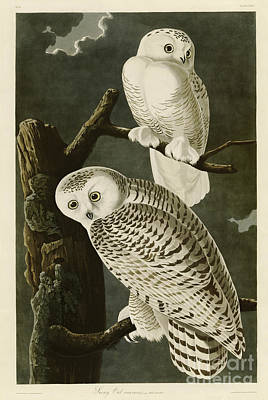 Black And White Owl Painting - Snowy Owl by MotionAge Designs