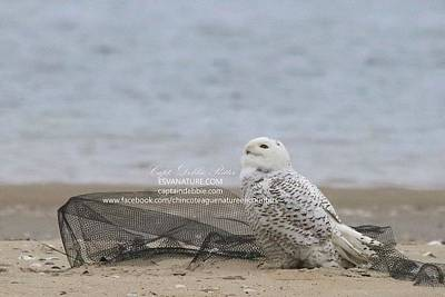 Photograph - Snowy Owl Looking At Sky by Captain Debbie Ritter