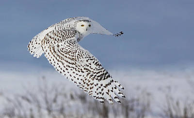 Bird Flight Photograph - Snowy Owl by Mircea Costina