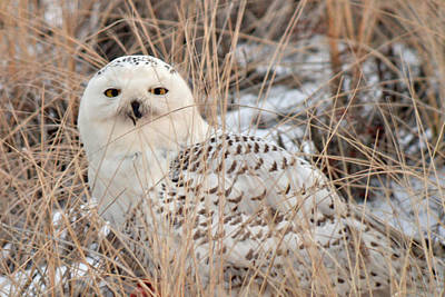 Snowy Owl Art Print by Nancy Landry