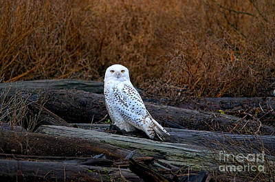 Photograph - Snowy Owl On A Log by Sharon Talson