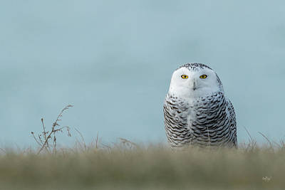 Photograph - Snowy Owl On Blue by Everet Regal